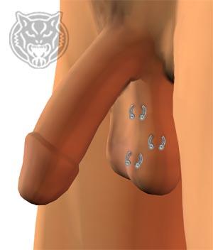 Piercing hodensack Category:Male genital